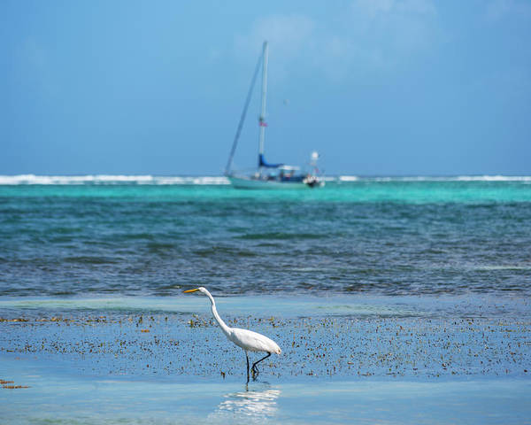 Ambergris Caye Photograph - Belize Heron Enjoying The Blue Water Ambrgris Caye San Pedro by Toby McGuire
