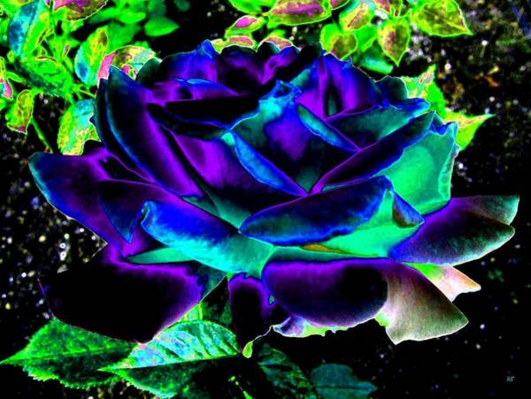 Purple Rose Digital Art - Bella Flora 4 by Will Borden