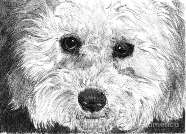 Bichon Drawings | Fine Art America