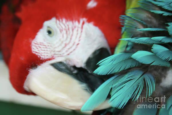 Photograph - belle Ara Macao oiseaux tropicaux de Maui  by Sharon Mau
