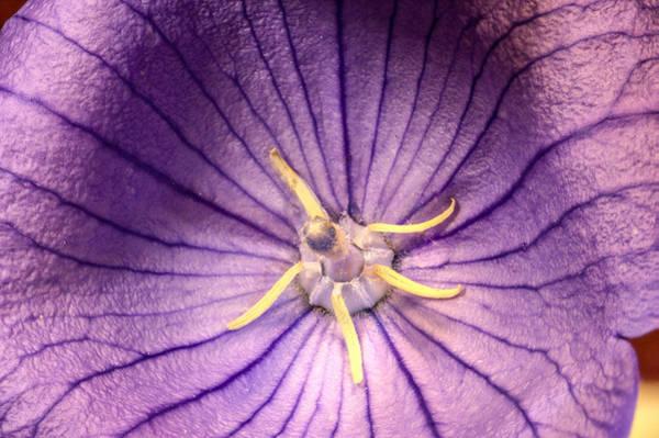 Campanulaceae Photograph - Bellflower Stamens And Pistil by Douglas Barnett