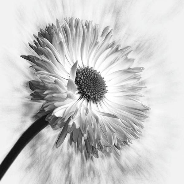 Blackandwhite Wall Art - Photograph - Bellis In Mono  #flower #flowers by John Edwards