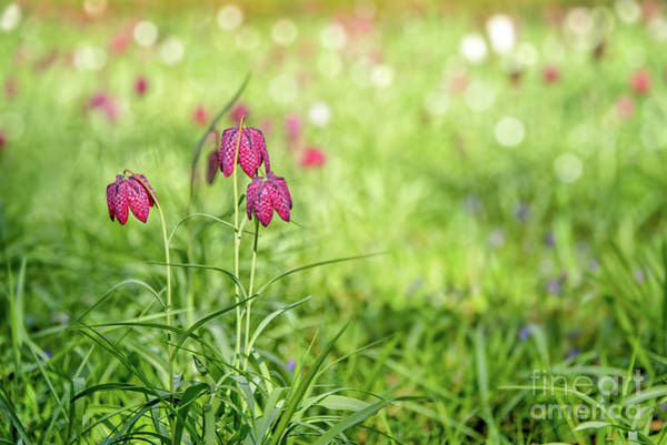 Fritillaria Photograph - Bells by Delphimages Photo Creations