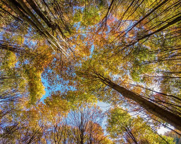 Photograph - Below Autumn Maples by Chris Bordeleau