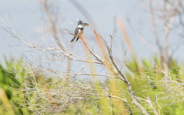 Photograph - Belted Kingfisher by Framing Places