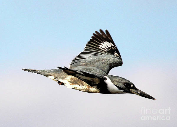 Photograph - Belted Kingfisher In Flight by Jennifer Robin