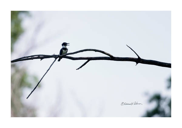 Photograph - Belted Kingfisher Perched 2 by Edward Peterson