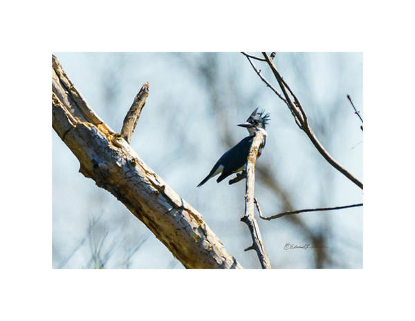 Photograph - Belted Kingfisher Perched by Edward Peterson