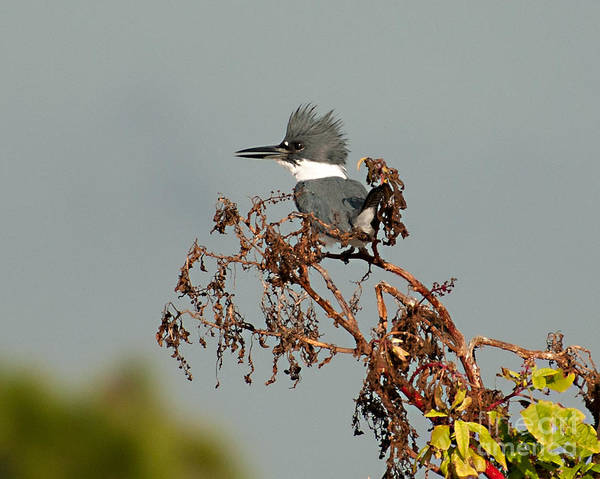 Photograph - Belted Kingfisher by Photos By Cassandra