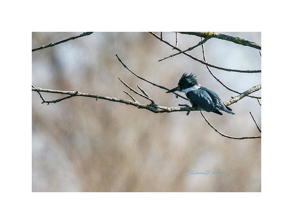 Photograph - Belted Kingfisher Shopping by Edward Peterson