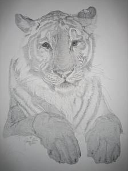 Bengal Tiger Drawing - Ben by Joanie Arvin