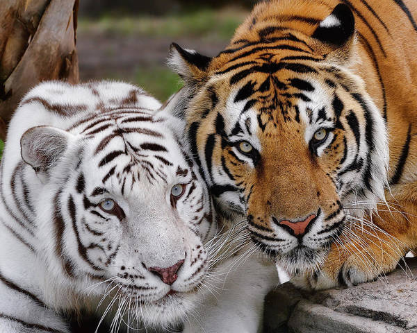 Photograph - Bengal Buddies by Bill Dodsworth
