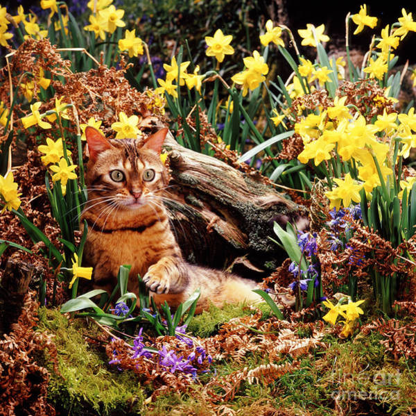 Photograph - Bengal In Spring by Warren Photographic