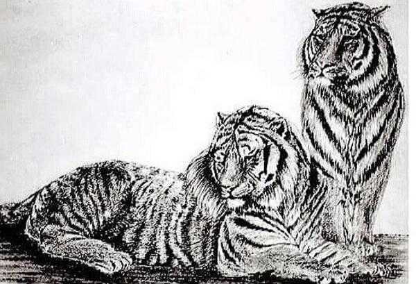 Bengal Tiger Drawing - Bengal Pair by Cynthia Marsack