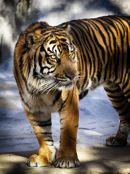 Photograph - Bengal Tigar by Charles McKelroy