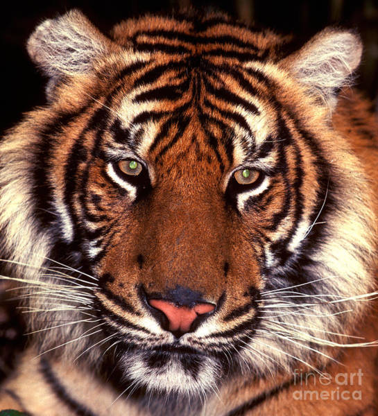 Photograph - Bengal Tiger - 2 by Paul W Faust -  Impressions of Light