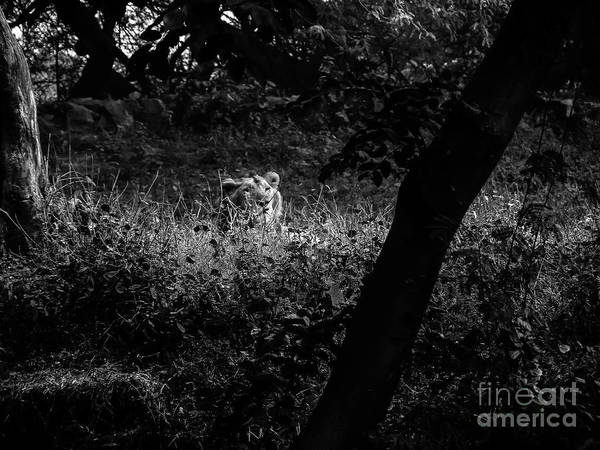 Photograph - Bengal Tiger by M G Whittingham