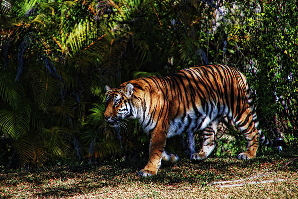 Photograph - Bengal Tiger - Rdw001072 by Dean Wittle
