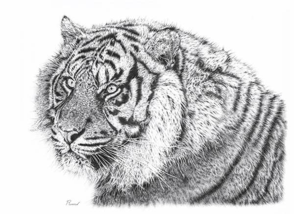 Drawing - Bengal Tiger by Remrov