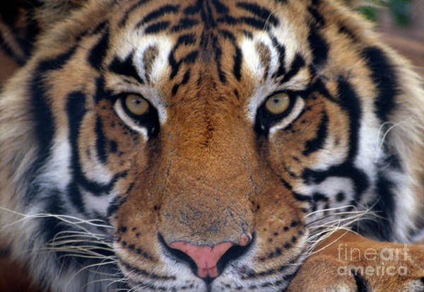 Photograph - Bengal Tiger by Richard Nickson