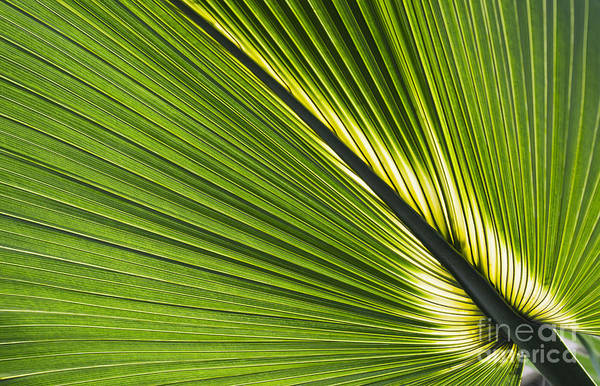 Palmetto Photograph - Bermuda Palmetto Leaf by Tim Gainey