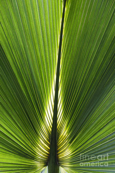 Bermuda Wall Art - Photograph - Bermuda Palmetto Palm Leaf by Tim Gainey