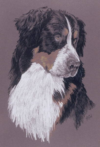 Drawing - Berner by Barbara Keith