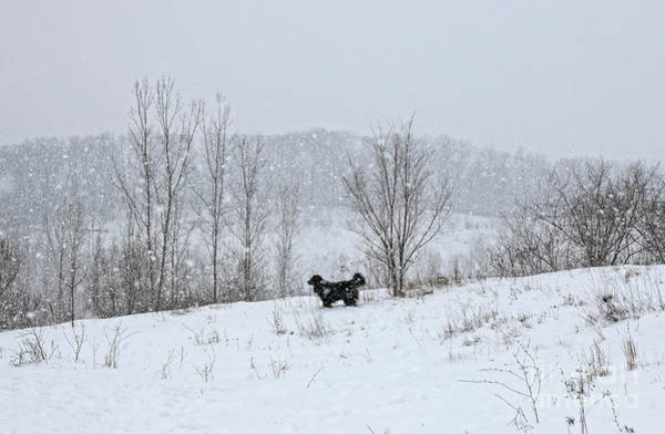 Wall Art - Photograph - Bernes Mountain Dog In Snow by Charline Xia