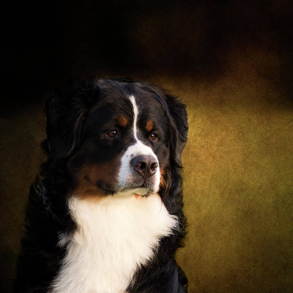 Photograph - Bernese Mountain Dog by Diana Andersen