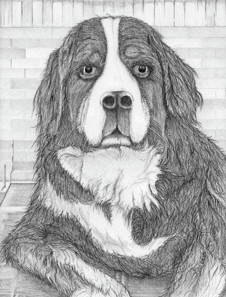 Drawing - Bernese Mountain Dog  by Jason Girard