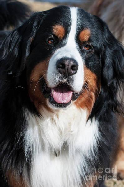 Bernese Mountain Dog Portrait  Art Print