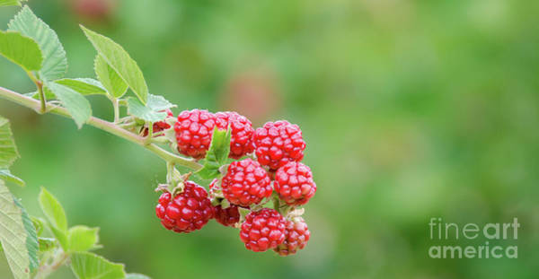 Photograph - Berries by Andrea Anderegg