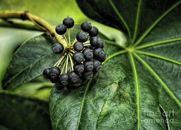 Photograph - Berries by Elijah Knight