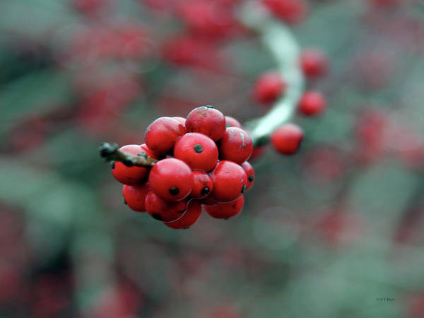 Photograph - Berry Cluster 7935 H_2 by Steven Ward