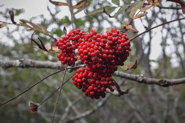 Photograph - Berry Heart - Acadia Maine by Kirkodd Photography Of New England