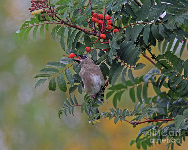 Berries Wall Art - Photograph - Berry Picking by Gary Wing