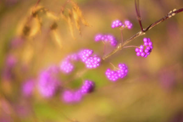 Photograph - Berry Soft by Brian Hale