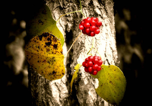 Wall Art - Photograph - Berry Special by Karen Scovill