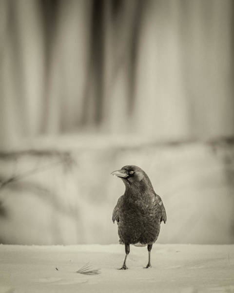 Photograph - Betsy's Crow In The Snow by Bob Orsillo