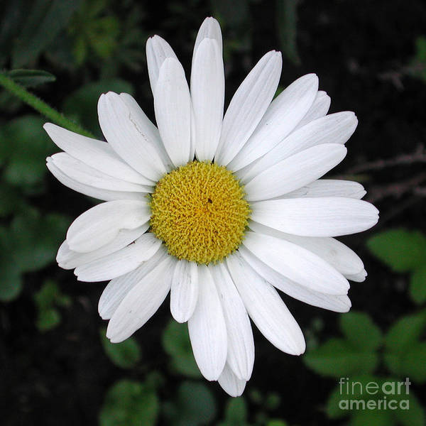 Photograph - Betty's Daisy by Kathi Shotwell