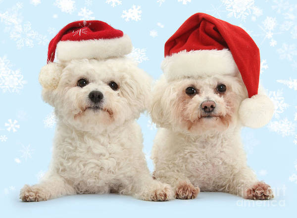 Photograph - Bichon Frises In Santa Hats by Warren Photographic