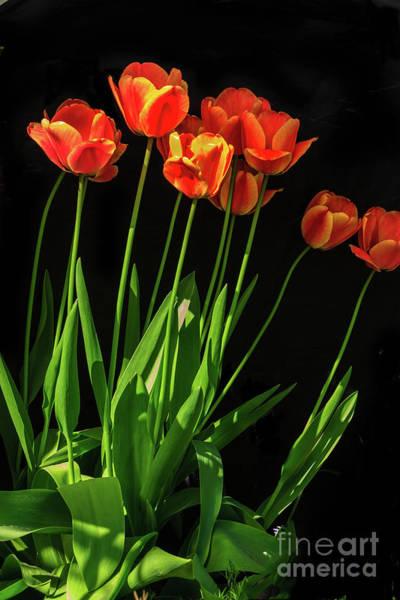 Wall Art - Photograph - Bicolor Tulips by Robert Bales