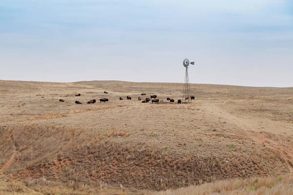 Big Basin Bison By Windmill Art Print