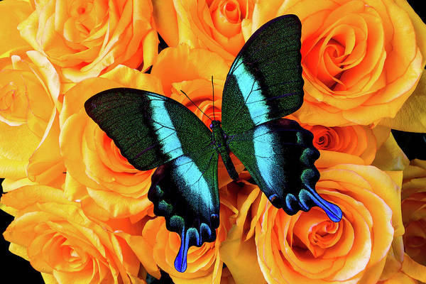 Wall Art - Photograph - Big Beautiful Butterfly On Roses by Garry Gay