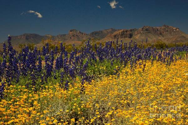 Photograph - Big Bend Wildflower Explosion by Adam Jewell