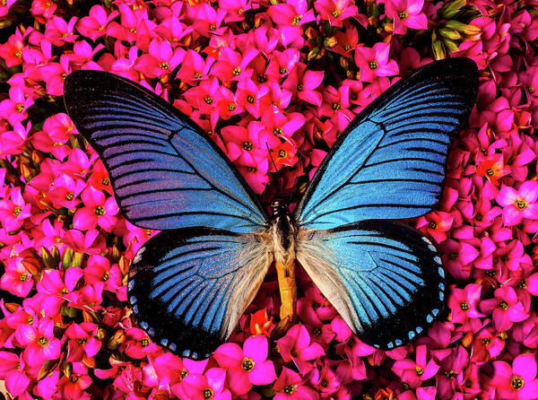 Photograph - Big Blue Butterfly On Kalanchoe Flowers by Garry Gay