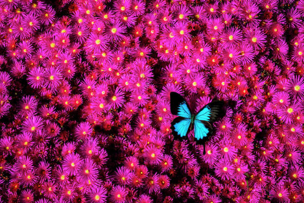 Photograph - Big Blue Butterfly On Pink Flowers by Garry Gay