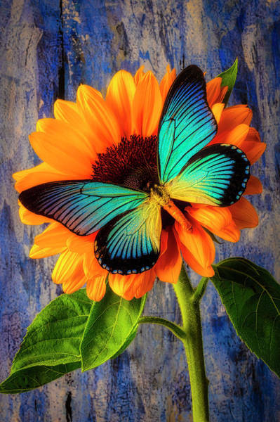 Photograph - Big Blue Butterfly On Sunflower by Garry Gay