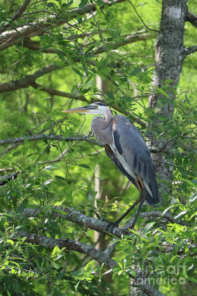 Little Blue Heron Photograph - Big Blue In Green Tree by Carol Groenen