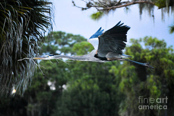 Great Blue Herons Photograph - Big Blue by Quinn Sedam